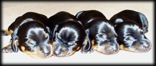Puppies from Blacky and Stefi